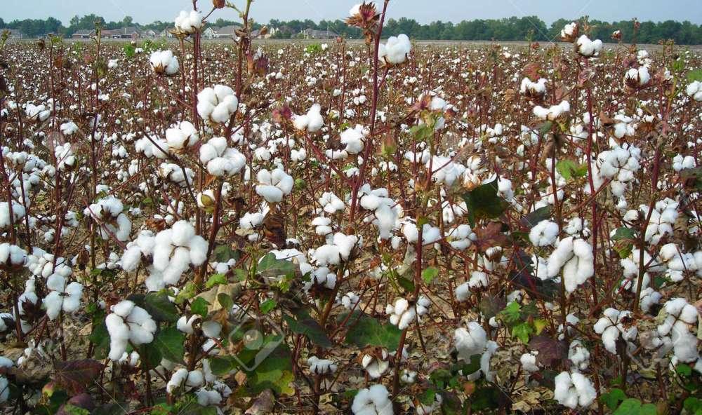 Pamuk üreticilerine ekonomik destek gündemde