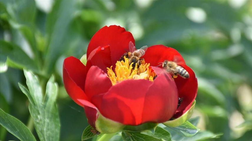 Arı popülasyonunun azalması gıda güvenliğini tehdit ediyor
