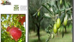 Bu yıl zeytin ve narlarda yaşanan zararlar bildirilecek