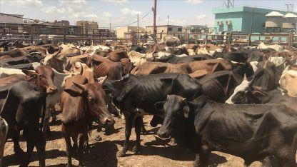 Hindistan, Keşmir'de Kurban Bayramı'nda 'inek, buzağı ve deve' kesilmesini yasakladı