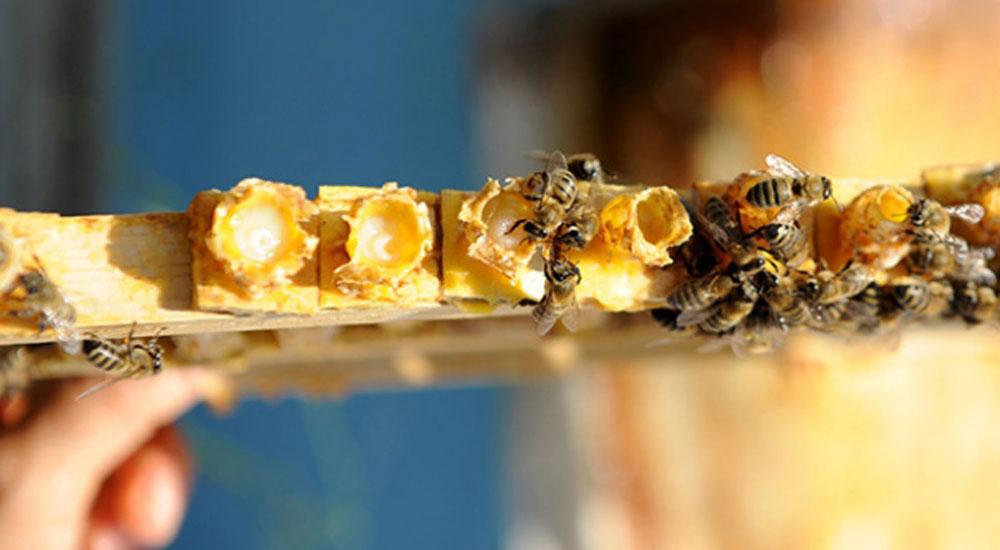Arı sütünün faydaları saymakla bitmiyor