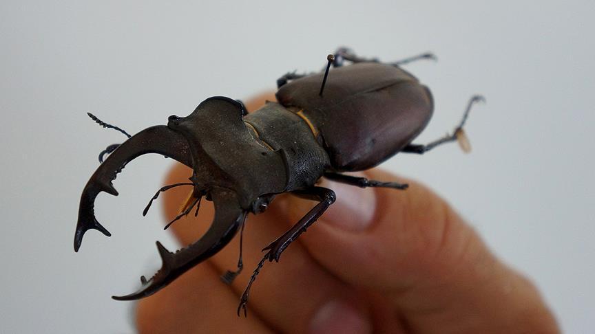 Dünyanın En Uzun Böceği Bulundu