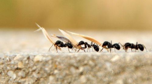 Karıncalar yön bulmak için bakın ne yapıyor